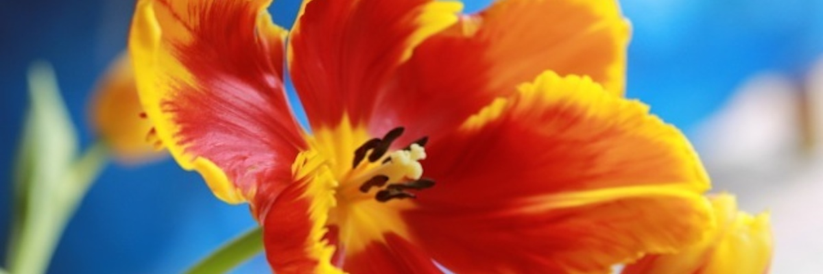 Mary Dispenza photo of vibrant red tulip with broken yellow edges