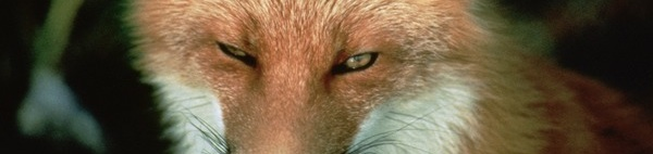 fox eyes closeup